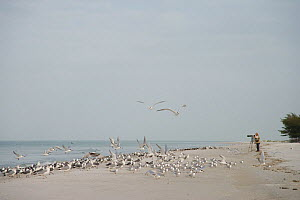Terns, gulls, and skimmers on the beach with bird photographer, Fort De Soto Park, St. Petersburg, Florida, USA. January.  -  Marie  Read