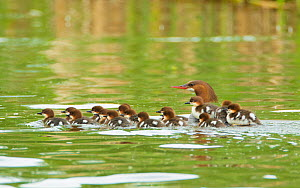 Common mergansers (Mergus merganser) family, female swimming with seventeen ducklings, some of which are riding on her back, Lansing, New York, USA, June. - Marie  Read