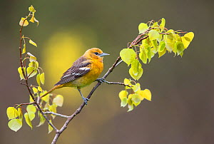 Baltimore oriole (Icterus galbula) first year female perched with newly-emerged leaves in spring, New York, USA, May. - Marie  Read