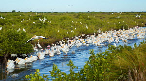 Avian feeding frenzy with a flock of White Pelicans (Pelecanus erythrorhynchos) swimming along a channel chasing school of fish. A mixed flock of long-legged waders, including Great Egrets (Ardea alba... - Marie  Read