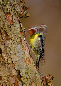 Yellow-bellied Sapsucker (Sphyrapicus varius), male drumming, long exposure, New York, USA, April.  -  Marie  Read