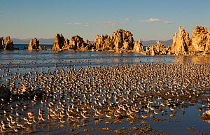 Wilson's Phalaropes (Phalaropus tricolor) large flock on the shore at Mono Lake in late summer, California, USA. July. Mono Lake is an important staging site (stopover site) for migrating shorebir...  -  Marie  Read