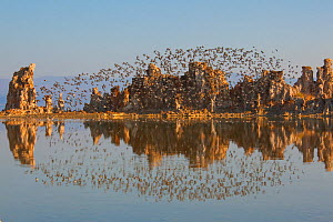 Wilson's Phalaropes (Phalaropus tricolor) flock flying over tufa formations at Mono Lake in late summer, with reflection, California, USA. July 2013. Mono Lake is an important staging site for sho...  -  Marie  Read