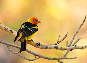 Western tanager (Piranga ludoviciana), male perched on aspen branch in spring, Mono Lake Basin, California, USA, May. - Marie  Read