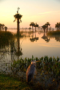 Viera Wetlands at sunrise with Great Blue Heron (Ardea herodias) in the foreground. This man-made wetland forms part of Brevard County's water treatment system in central Florida, USA. March.  -  Marie  Read