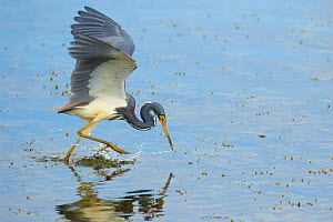 Tricolored heron (Egretta tricolor) adult in breeding plumage capturing fish by half-running half-flying across water's surface and stabbing with its bill, Viera Wetlands, Brevard County, Florida,...  -  Marie  Read