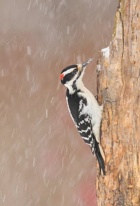 Hairy woodpecker (Picoides villosus) male in snowstorm, Freeville, New York, USA, February. - Marie  Read