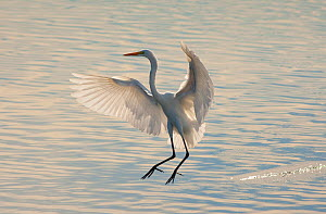 Great Egret (Ardea alba), about to land in water, backlit, Bolsa Chica Ecological Reserve, California, USA, October. - Marie  Read