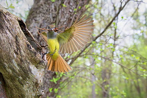 Great crested flycatcher (Myiarchus crinitus), female alighting at nest cavity entrance carrying pine needles as nest material, wide angle captured with remote camera to show habitat, New York, USA. M...  -  Marie  Read
