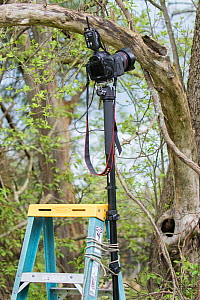 Equipment set up for remote control photography at nest hole of Great Crested Flycatcher (Myiarchus crinitus), New York, USA. Camera, fitted with wide angle lens, mounted on monopod attached to ladder... - Marie  Read