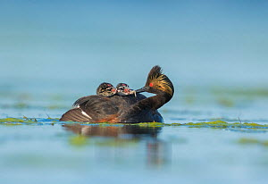 Eared Grebes (Podiceps nigricollis), adult feeds a damselfly nymph to one of two chicks riding on its back, Bowdoin National Wildlife Refuge, Montana, USA, June.  -  Marie  Read