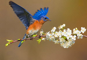 Eastern bluebird (Sialia sialis) male fluttering wings while perched on cherry (Prunus sp.) branch in spring, New York, USA, April. - Marie  Read