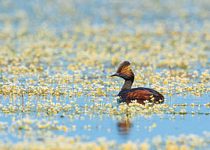 Eared grebe (Podiceps nigricollis), adult in breeding plumage, swimming amidst Water crowfoot flowers, (Ranunculus aquatilis) flowers, Benton Lake National Wildlife Refuge, Montana, USA, July. - Marie  Read