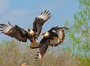 Crested caracaras (Caracara cheriway), midair aggressive interaction between two for access to perch, Martin Refuge, Rio Grande Valley, Texas, USA, March.  -  Marie  Read