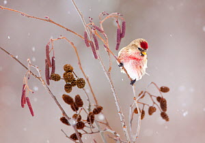 Common redpoll (Carduelis flammea), male perched in alder (Alnus rugosa) during a snowstorm in winter, New York, USA, January. - Marie  Read