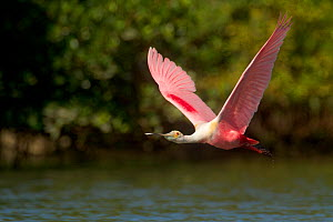 Roseate spoonbill (Ajaia ajaja) adult in breeding plumage in flight over water, mangroves in background,Tampa Bay, Florida, USA, March. - Marie  Read