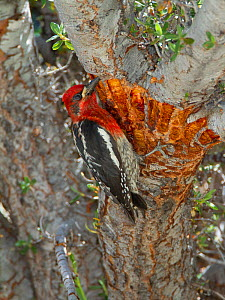 Red-breasted sapsucker (Sphyrapicus ruber) adult feeding on tree sap from shallow wells it has drilled in bark of Curl-leaf Mountain-mahogany (Cercocarpus ledifoius), Lee Vining Canyon, California, US...  -  Marie  Read