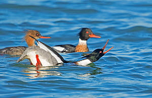 Red-breasted Mergansers (Mergus serrator) male in foreground performing courtship display to female in background (left), Aurora, New York, USA, April.  -  Marie  Read