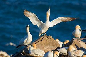 Northern gannets (Morus bassanus) performing sky-pointing display with outspread wings as part of courtship, Cape St. Mary's Ecological Reserve, Newfoundland, Canada. June.  -  Marie  Read