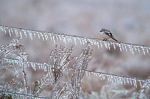 Loggerhead shrike (Lanius ludovicianus) on an ice-covered fence after an ice storm, Anahuac National Wildlife Refuge, Texas, USA. January.  -  Marie  Read