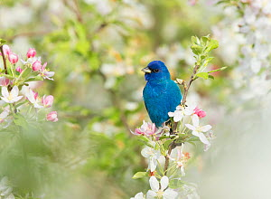 Indigo Bunting (Passerina cyanea) male in breeding plumage perched in Crabapple (Malus sp.) blossom in spring, Ithaca, New York, USA , May.  -  Marie  Read