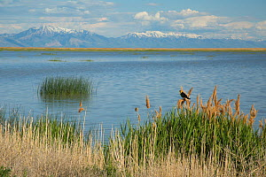 Yellow-headed Blackbird (Xanthocephalus xanthocephalus) male perched in marsh vegetation (Phragmites) in foreground. Bear River Migratory Bird Refuge, view toward east, with Wasatch Mountains in dista...  -  Marie  Read