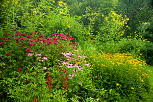 Bird-friendly garden in full bloom in summer, New York, USA, including purple coneflowers (Echinacea purpurea) and green-headed coneflowers (Rudbeckia laciniata), black-eyed susans (Rudbeckia sp.), be... - Marie  Read