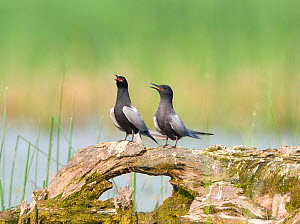 Black terns (Chlidonias niger), pair on a perch, vocalizing during courtship (termed 'Erect Posture' display), Montezuma National Wildlife Refuge, New York, USA, May.  -  Marie  Read