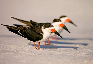 Black skimmers (Rynchops niger), three in non-breeding plumage on beach, Fort De Soto Park, St. Petersburg, Florida, USA. January. Digitally altered to remove distractions.  -  Marie  Read