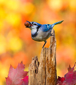 Blue jay (Cyanocitta cristata) holding an acorn in its bill whilst perched on tree stump, with autumn foliage, New York, USA, October. - Marie  Read
