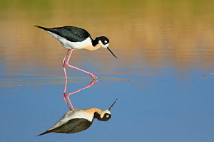 Black-necked Stilt (Himantopus mexicanus), foraging in water, with reflection, Bear River Migratory Bird Refuge, Utah, USA, May.  -  Marie  Read