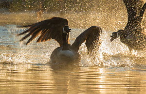 Canada geese (Branta canadensis) two during territorial fight in early spring, Ithaca. New York, USA  -  Marie  Read