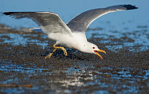 California Gull (Larus californicus), foraging for alkali flies (Ephydra hians) by running through swarm snapping its bill, on the shore at Mono Lake, California, USA. Digital frame expansion.  -  Marie  Read