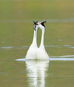 Clark's grebes (Aechmophorus clarkii) courting pair performing the 'Weed Ceremony' in which they slowly circle breast to breast holding pond weed as nesting material, Lake Hodges, Escondid...  -  Marie  Read