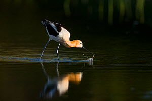American avocet (Recurvirostra americana), adult in breeding plumage foraging by sweeping its bill from side to side through shallow water, Orange County, California, USA, April. - Marie  Read
