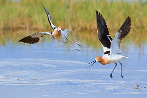 American avocets (Recurvirostra americana) two during aggressive (territorial) encounter, Bear River Migratory Bird Refuge, Utah, USA, May. - Marie  Read