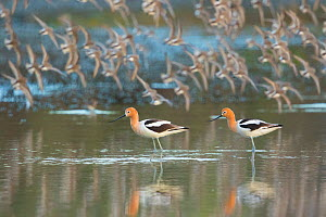 American avocets (Recurvirostra americana) pair in breeding plumage standing in water in foreground while flock of (Western) Sandpipers (Calidris sp.) flies past in the background, Irvine, California,... - Marie  Read