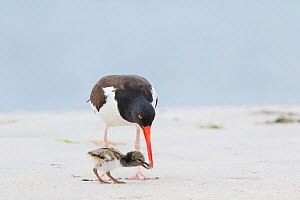 American oystercatcher (Haematopus palliatus) adult feeding chick, Long Island, New York, USA. June. - Marie  Read
