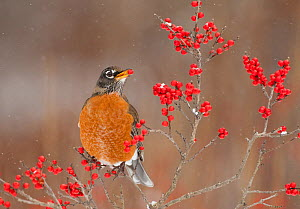 American Robin (Turdus migratorius), feeding on winterberry (Ilex) fruits in winter, New York, USA, December. - Marie  Read