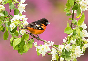 Baltimore oriole (Icterus galbula) male perched in pear (Pyrus sp.) blossom, eastern redbud in background, New York, USA. May.  -  Marie  Read