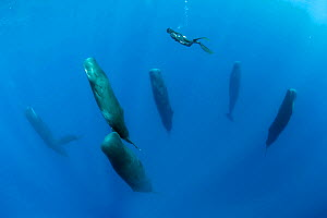 Free diver is swimming over a pod of Sleeping sperm whale (Physeter macrocephalus) Dominica, Caribbean Sea, Atlantic Ocean.  -  Franco  Banfi
