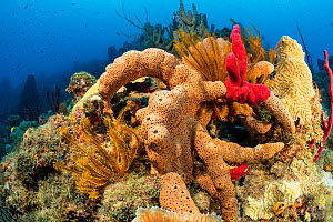 Reef covered with sponges, corals and feather stars, Dominica, Caribbean Sea, Atlantic Ocean  -  Franco  Banfi