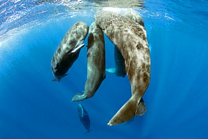 Pod of sperm whale socializing, (Physeter macrocephalus), Dominica, Caribbean Sea, Atlantic Ocean.  -  Franco  Banfi
