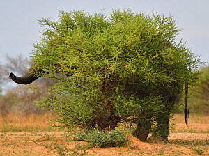 African savannah elephant (Loxodonta africana) hidden behind bush, trunk and tail visible, Marataba Private Reserve, Marakele National Park, Limpopo, South Africa  -  Staffan Widstrand