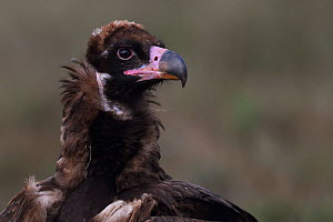 Young Black or Cinereous vulture (Aegypius monachus) Gredos Mountains, Castilla La Mancha, Spain - Staffan Widstrand
