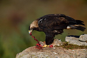 Iberian or Spanish imperial eagle (Aquila adalberti) eating a rabbit put out for it at a wildlife watching hide near El Barraco, Gredos Mountains, Avila, Spain. - Staffan Widstrand