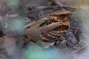 Large-tailed nightjar (Caprimulgus macrurus) in Keoladeo Ghana National Park, Bharatpur, Rajasthan, India  -  Staffan Widstrand