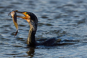 Great cormorant (Phalacrocorax carbo) in Keoladeo Ghana National Park, Bharatpur, Rajasthan, India  -  Staffan Widstrand