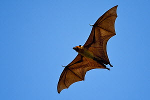 Indian flying fox or Greater Indian fruit bat (Pteropus giganteus) in Kanha National Park and Tiger Reserve, Madhya Pradesh, India  -  Staffan Widstrand