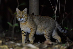 Jungle cat (Felis chaus) at night, Kanha National Park and Tiger Reserve, Madhya Pradesh, India  -  Staffan Widstrand